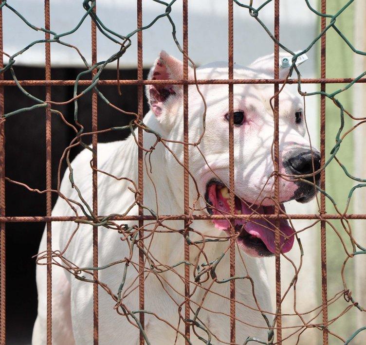 Suçta kullanılan çoğu pitbull 39 köpek rehabilite ediliyor