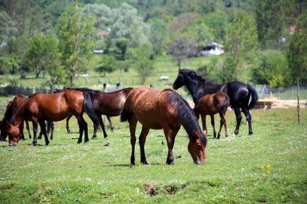 Yılkı atları koruma altına alındı