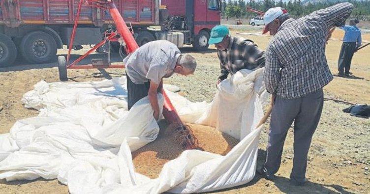 Gaziantep'te buğday hasadı