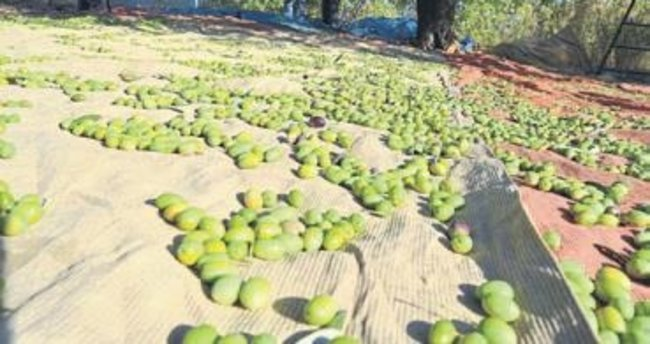 Sofralık zeytinde ihracat fiyatı rekoru