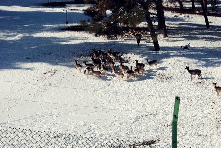 Geyiklerin kar altinda beslenmesi