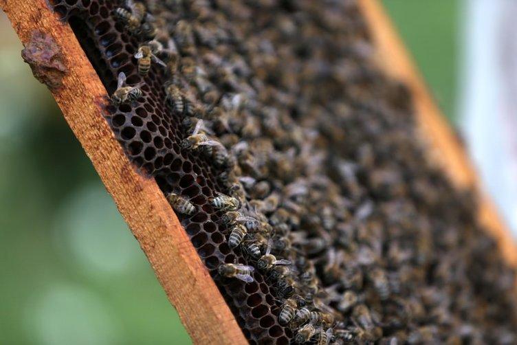 Sokmayan arı'ya yoğun talep
