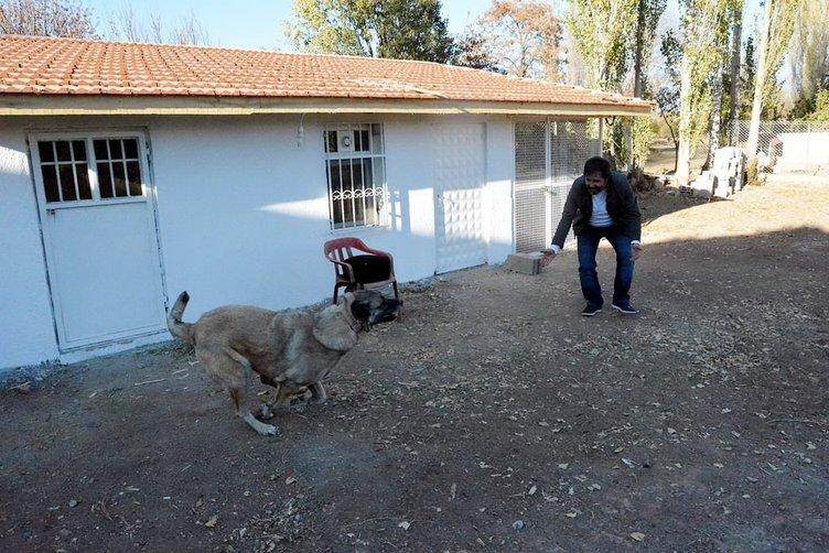 150 yıllık secereli 'Panter Kangal' ırkını Uşak'ta yetiştiriyor