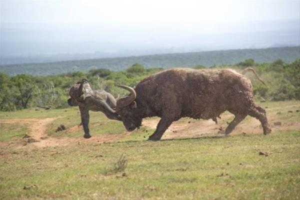 Bufalo saldırısının sonu kötü bitti