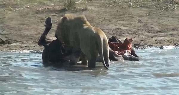 Üç aslanın kan donduran avı!