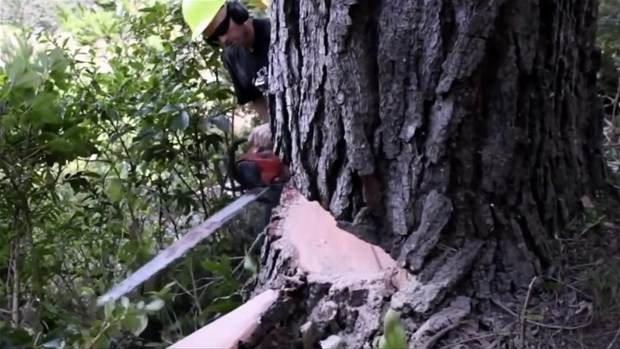 Ağaçtan bakın ne yaptı