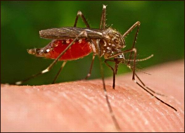 sivrisinekler kan grubu ayrımı yapıyor