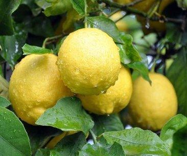 Limon dilimleriyle uyumak bakın ne etki ediyor