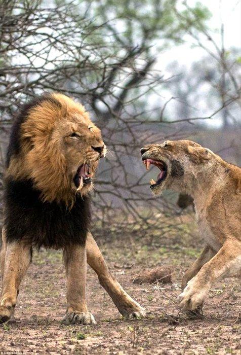 Aslanlar kavgası!