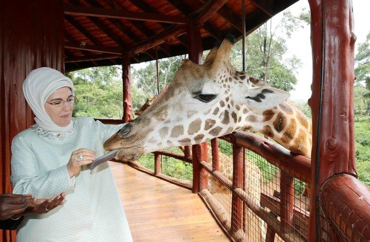 Emine Erdoğan zürafaları elleriyle besledi  .