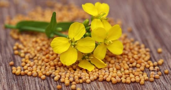 Hardal bitkisinin faydaları