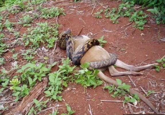 Pitonun kanguruyu yuttuğu an