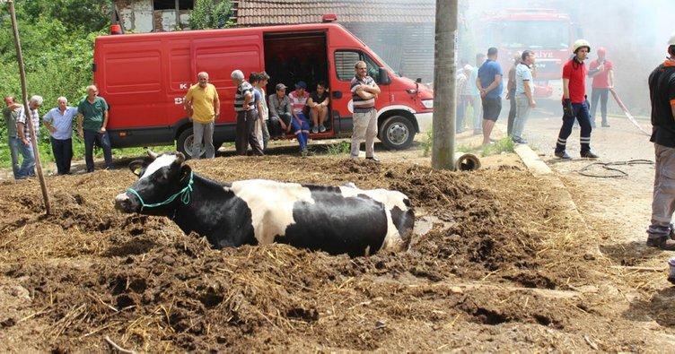 Yangından kaçan inek tezek yığınına saplandı