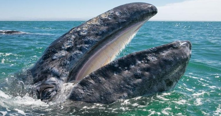 Kameralara poz veren balina