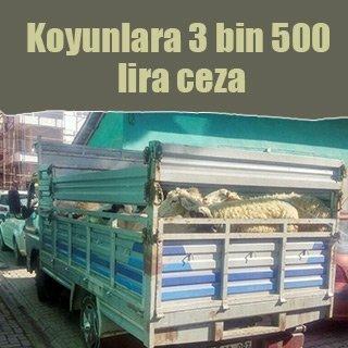 25 adet koyuna 3 bin 500 lira ceza