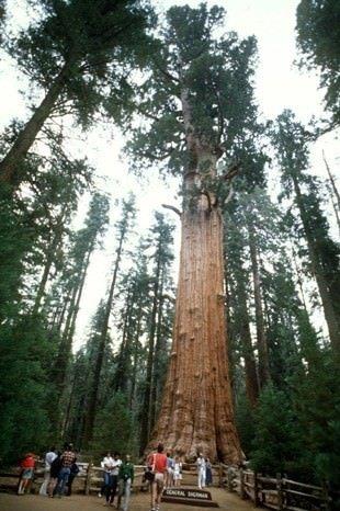 Hiç bu kadar büyük ağaç gördünüz mü?