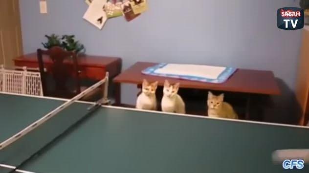 Kedilerle masa tenisi oynamak