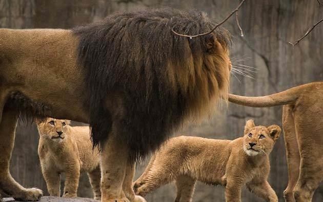 Aslan yavrularının babalarıyla ilk buluşması