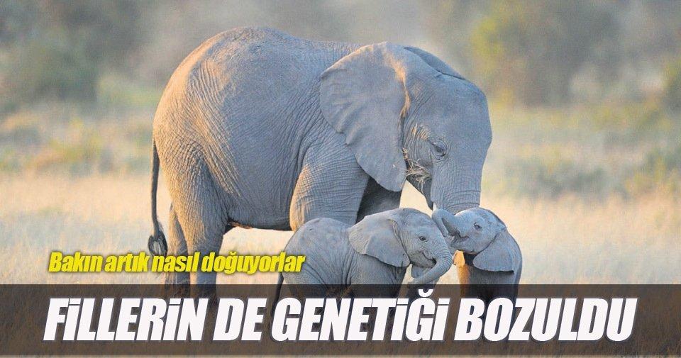 Avcılar yüzünden filler dişsiz doğuyor