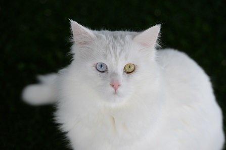 Van kedilerinin popülasyonu arttırılacak