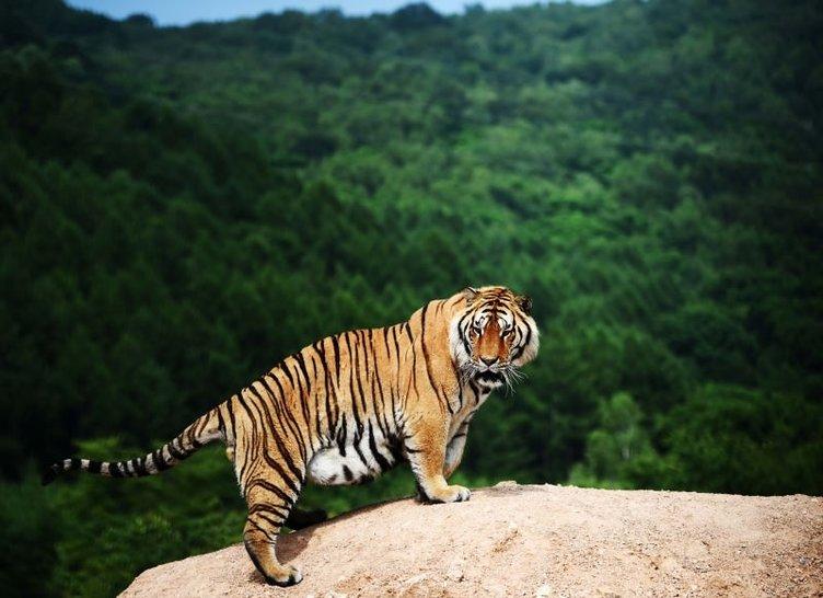 İşte dünyanın en büyük kedisi!
