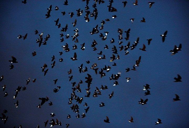 Güvercinlere ışık takıp uçurdu!