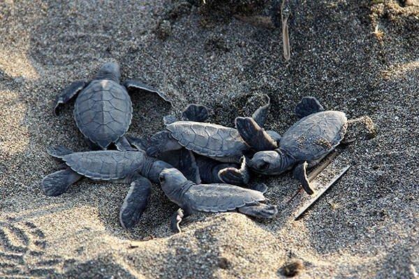 Deniz kaplumbağalarının zorlu yolculuğu