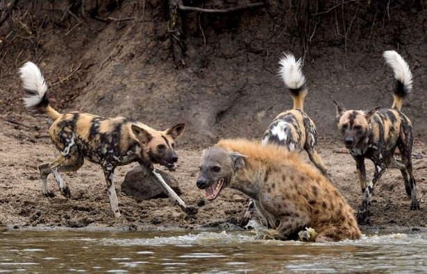 Hayvanların büyük kapışması!