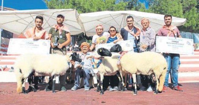 En güzel koyunu seçtiler