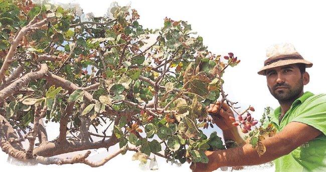 Menengiç ağacından Antep fıstığı üretildi