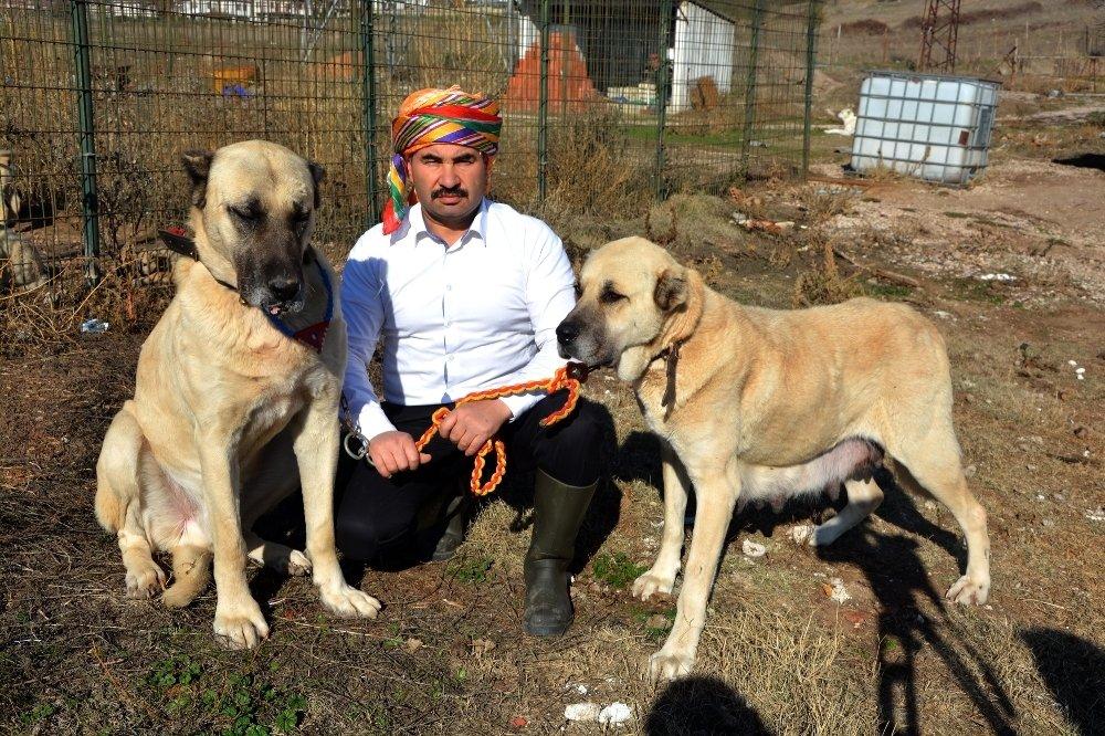 Çoban köpekleri sınırda Mehmetçiğin can dostu olacaklar