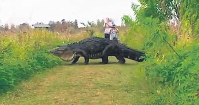 Önlerini 4 metrelik timsah kesti