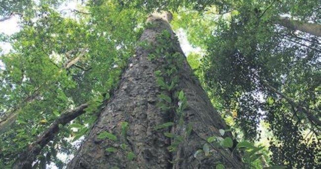 Afrika'nın en uzun ağacı