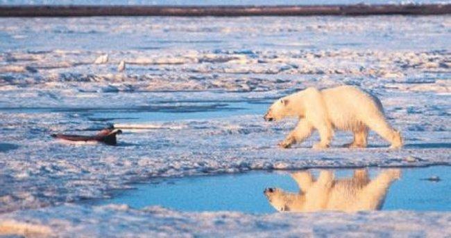Öksüz kutup ayısına askeri operasyon