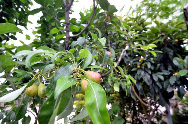 'Kokteyl' gibi meyve ağacı