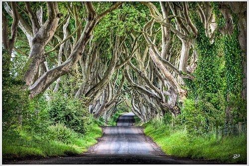 İrlanda'dan Büyüleyici Bir Ağaç Tüneli