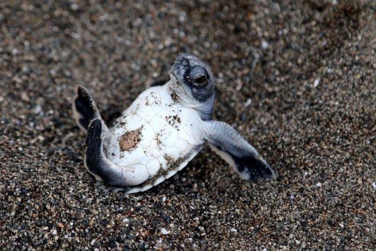 Yeşil deniz kaplumbağalarının yolculuğu başladı