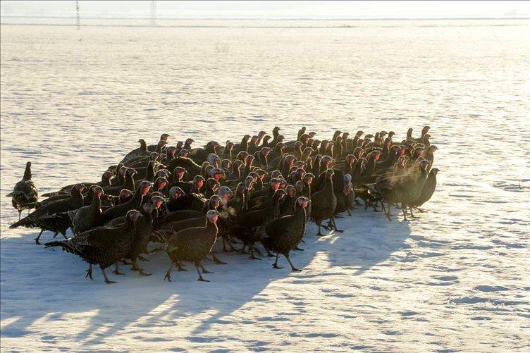 Köy hindisine yılbaşı rağbeti