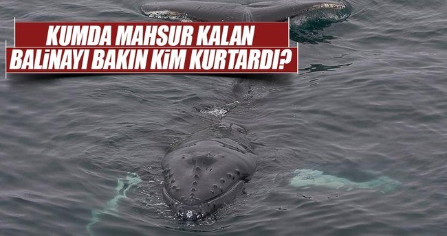 Avustralya'da kumda mahsur kalan balinayı yavrusu kurtardı