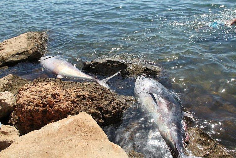 Didim'de devler kıyıya vurdu!