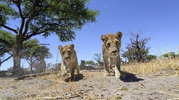 Aslanların arasına girdi bakın ne oldu