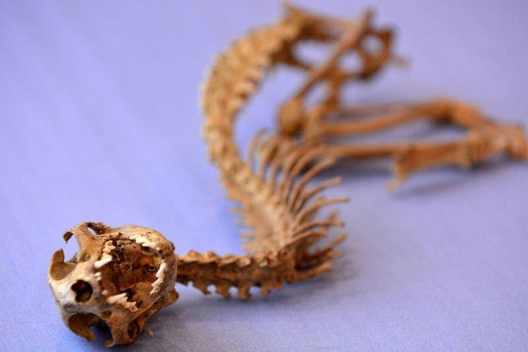 Odunlukta tanımlanamayan hayvan iskeleti bulundu
