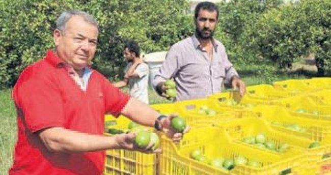 Limon üreticisi umutlu başladı