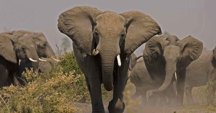Kenya'da milli parktan kaçan filler 4 köylüyü öldürdü