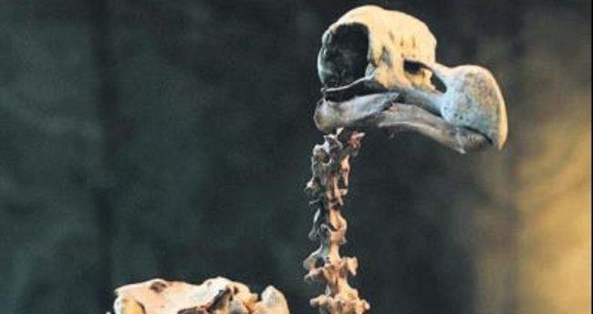 Dodo kuşu iskeleti açık artırmada...