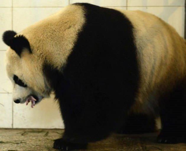 Pandanın doğum mucizesi