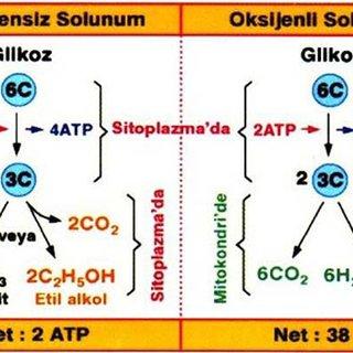 Oksijenli solunum evreleri nelerdir