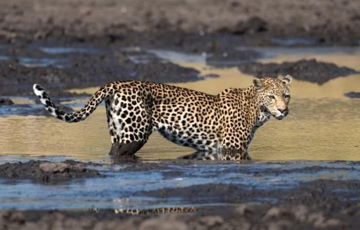 Leoparın müthiş taktiği