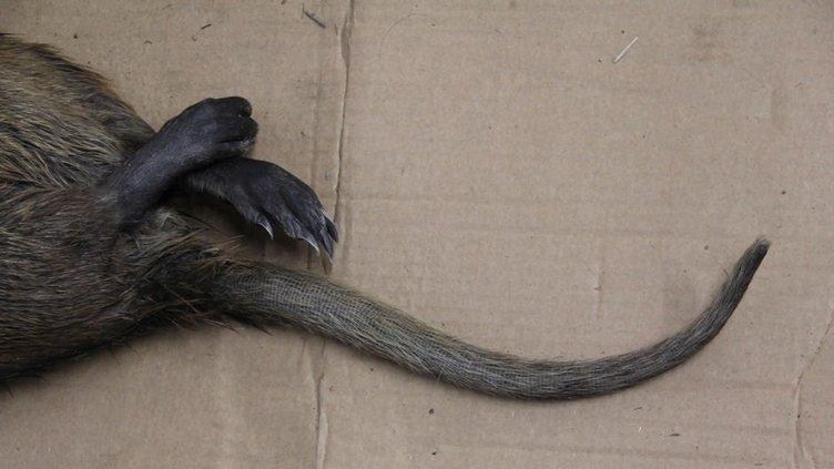 Dev bataklık fareleri