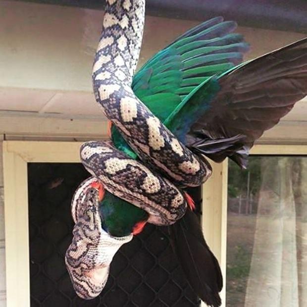 Piton çatıdaki papağanı canlı canlı yedi
